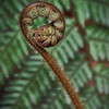 Koru - Waitakere Ranges Rainforest