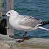 Seagull at Devonport March 2012