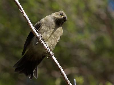 Bellbird (juvenile)