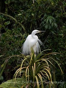 White Heron, adult.