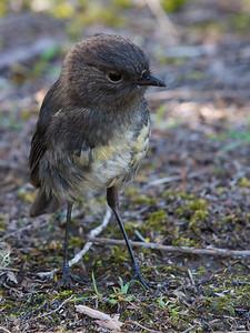 Robin (South Island)