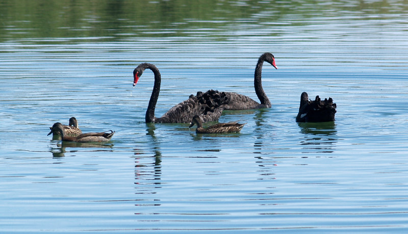 Some black swans and some ducks.