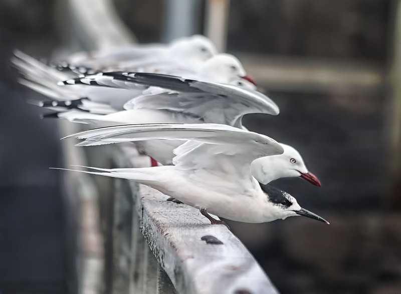White-fronted Terns - Red-billed Gulls