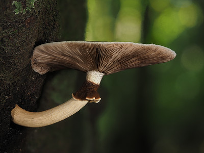 Agrocybe parasitica