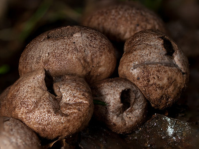 Puffball fungus (Scleroderma sp.)