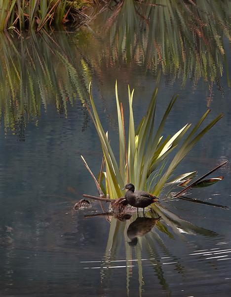 Mirror Lakes - Paradise Shelduck