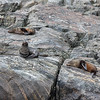 New Zealand Fur Seals - Milford Sound