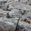 New Zealand Fur Seals - Milford Sound