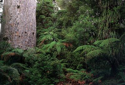 0839 - tane mahuta in the waipoua forest