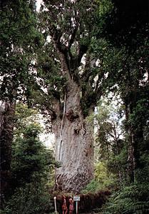 0840 - te matua ngahere - father of the forest in waipoa fore