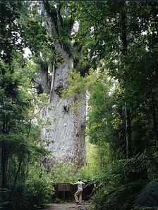 0841 - te matua ngahere 02 - father of the forest in waipoa f