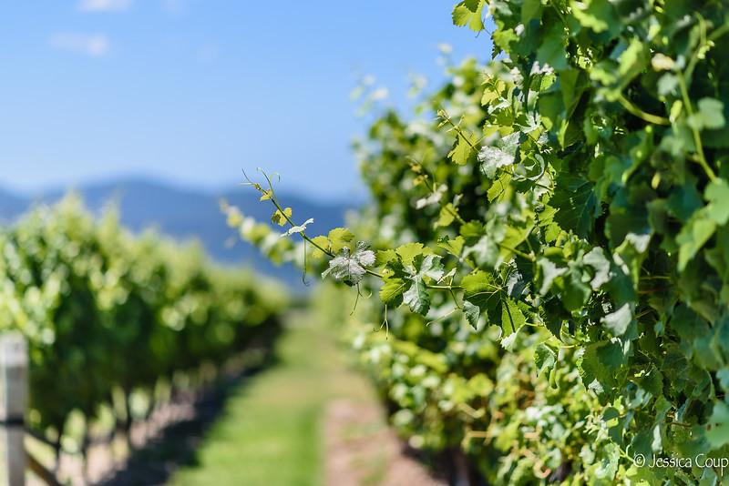 Sauvignon Blanc of Blenheim