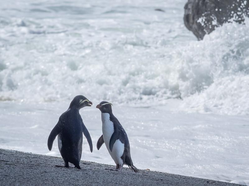 Fjordland Crested Penguins 3, Abel Tasman Sea