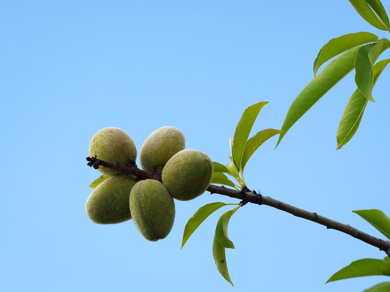 Almonds Growing at Retiro Park Lodge, Nelson NZ