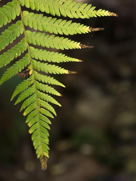 Back-lit Fern Leaf, Abel Tasman NP
