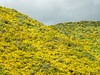 Blooming Scotch Broom Covering Hillside, Athol NZ