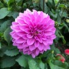 2018-03-06 - 12 Christchurch NZ botanic garden Dahlia