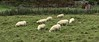 2018-03-04 - 22 Sheep in Greymouth NZ