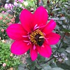 2018-03-06 - 11 Christchurch NZ botanic garden Dahlia