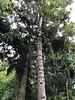 2018-03-06 - 25 Christchurch NZ botanic arden Kauri Treej