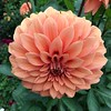 2018-03-06 - 10 Christchurch NZ botanic garden Dahlia