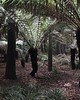 2018-03-06 - 22 Christchurch NZ botanic garden Tree Ferns