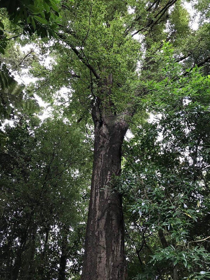 2018-03-06 - 21 Christchurch NZ botanic garden Red Cedar