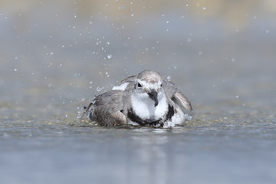 Wrybill (Anarhynchus frontalis) enjoying a bath