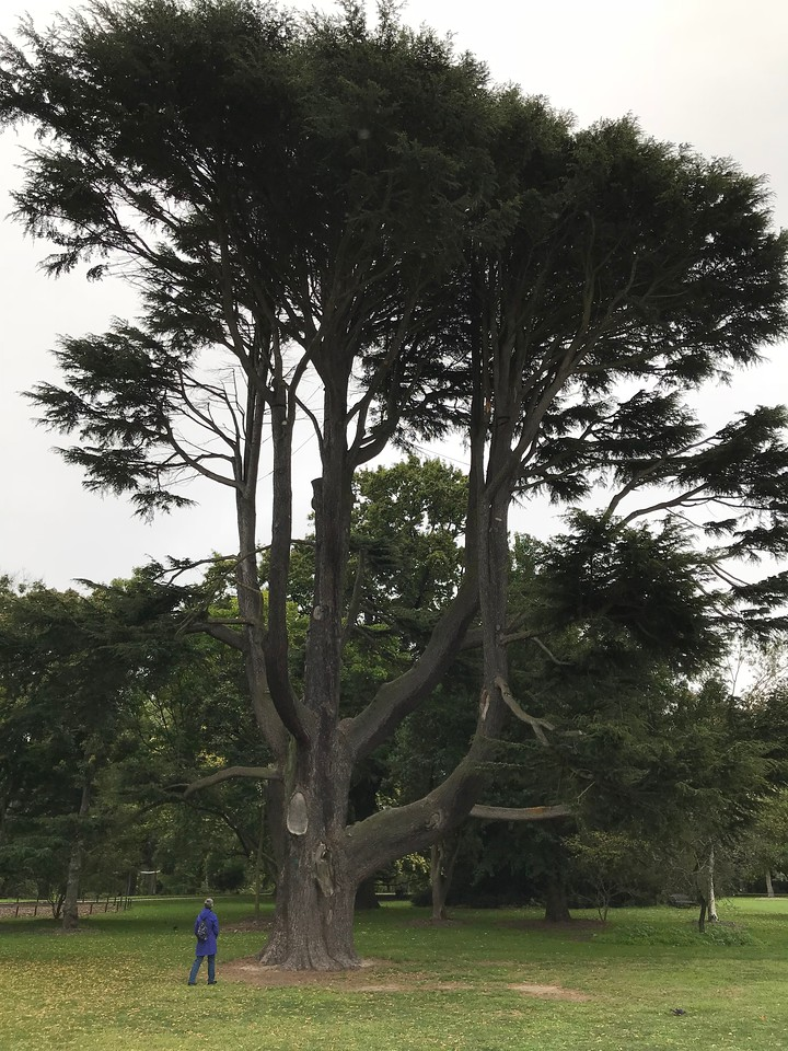 2018-03-06 - 15 Christchurch NZ botanic garden Atlas Cedar