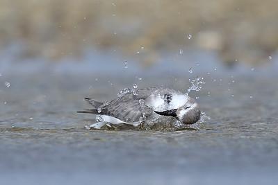 Wrybill (Anarhynchus frontalis) bathing