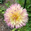 2018-03-06 - 14 Christchurch NZ botanic garden Dahlia