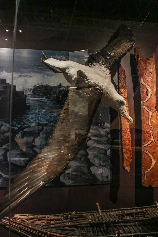 Albatros - Museum of New Zealand