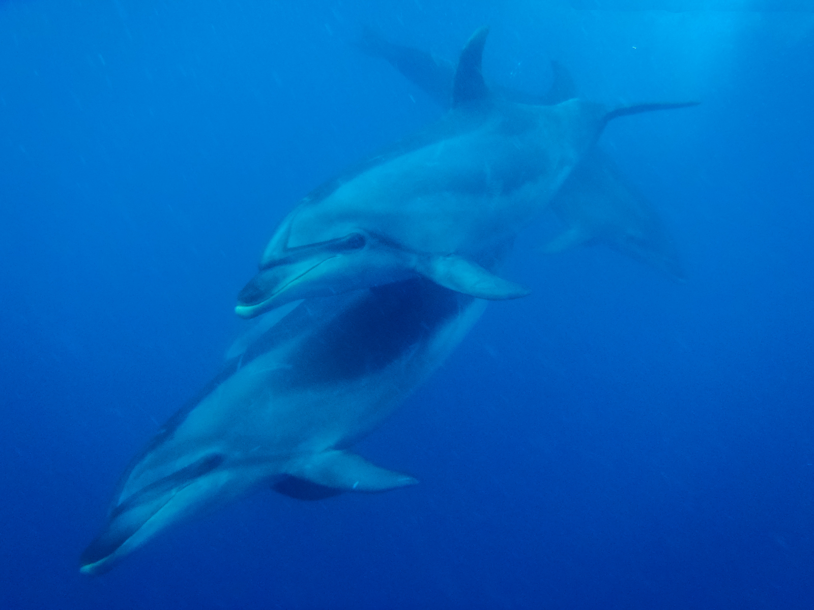 Swimming with Dolphins off the coast of the Bay of Islands on the North Island of New Zealand