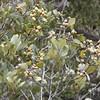 Mangrove seeds