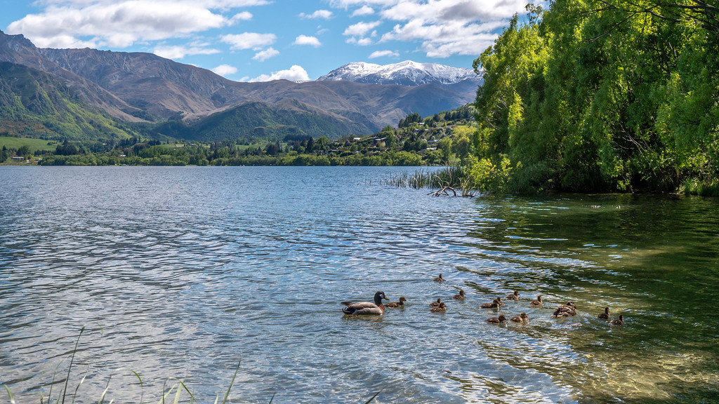 Day Trips From Queenstown: Ducks at Lake Hayes