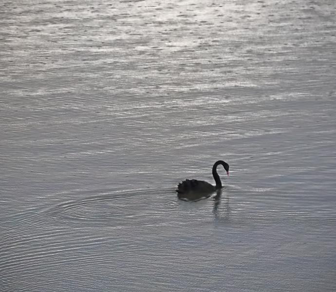 Black Swan - Queenstown to Dunedin Highway