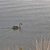 Black Swan - Juvenile