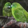 Antipodes Island Parakeets