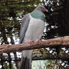 New Zealand Pigeon