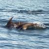 Dolphins at Kaikoura