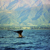 Sperm Whale at Kaikoura