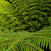 Tree Fern, Abel Tasman