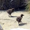 Two baby Weka chicks on Ulva Island.