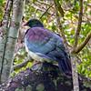 NZ Wood Pigeon (Kereru) on Ulva Island.