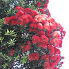 Pohutukawa tree in full bloom