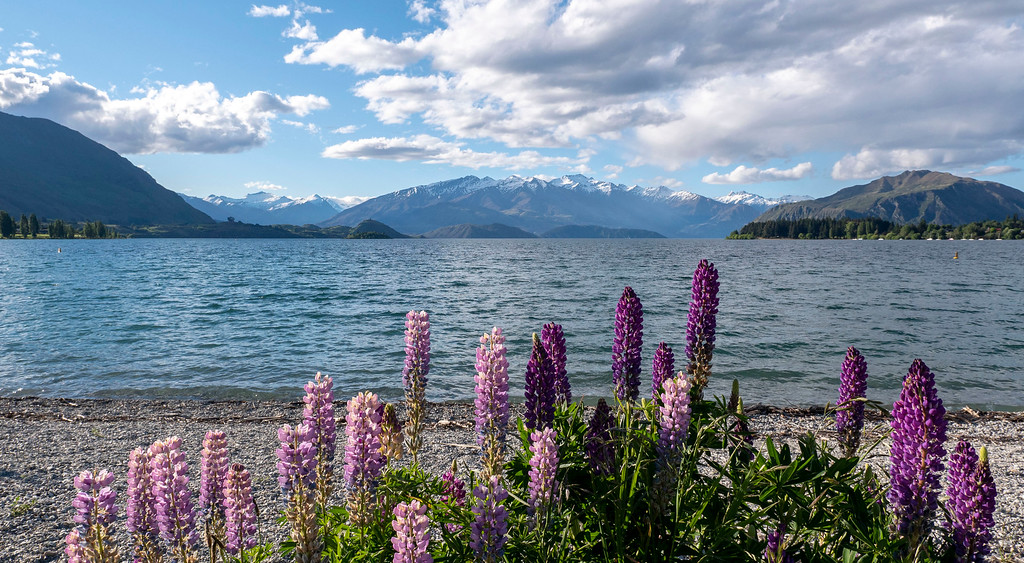 Lupines in the spring at Lake Wanaka, Wanaka, New Zealand