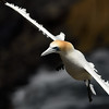 Incoming Gannet; 300mm 1/4000 ISO 500 f/5