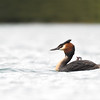 Great Crested Grebe with chick; 500mm 1/2000 ISO 2500 f/5.6