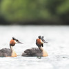 Great Crested Grebe family with chick; 500mm 1/1600 ISO 2000 f/5.6