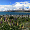 Looking NE across Lake Tekapo at the snow-capped mountains of Two Thumb Range, with, flowering Russell lupines (Lupinus polyphyllus) in the foreground.  Taken in Canterbury by Shane Anderson on Nov. 19, 2014